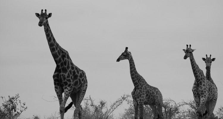 safari-472221_960_720